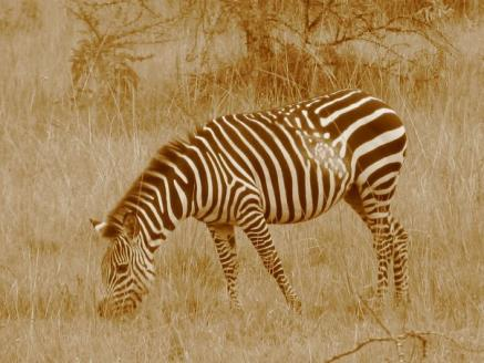 Why zebras have stripes » Routes To Africa